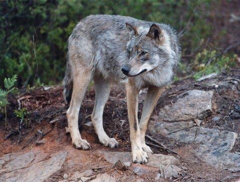 ULV: Terje Karlsen forteller at han møtte en ulv ved skiløypa på Ljøsheim lørdag. Dette er et illustrasjonsfoto og har ingenting med ulven Karlsen så å gjøre.