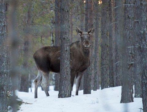 JAKT: Statskog la 1. april ut 200 tilbud om elgjakt i store deler av landet. Etterspørselen overstiger normalt tilbudet mange ganger.