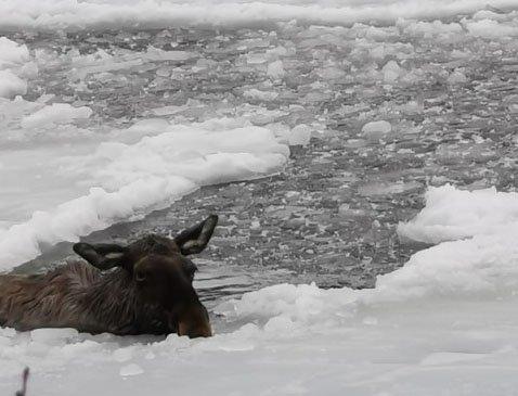 MISTET LIVET: Elgkua døde etter at den gikk gjennom isen på Målselva tirsdag.