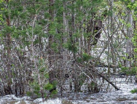 HER STÅR ELGEN: I snart et døgn har elgen vært observert ute i den strie strømmen.