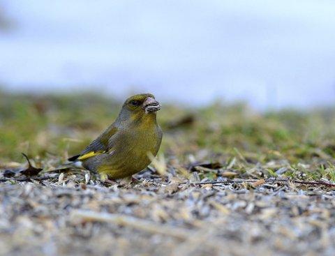 Grønnfink: Grønnfinken er en ivrig solsikkefrøspiser.