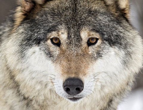 Ulven: Alle sauebønders mareritt.Foto: Heiko Junge/NTB scanpix