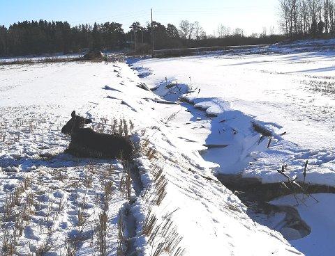 REDDET! Her puster elgkalven ut og kommer til hektene etter å ha blitt heist opp fra grøfta nede til høyre. SVEIP FOR Å SE FLERE BILDER!