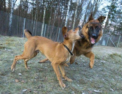 Trives i Bjørndalen: Hunder i fri livsutfoldelse i Bjørndalen hundepark.