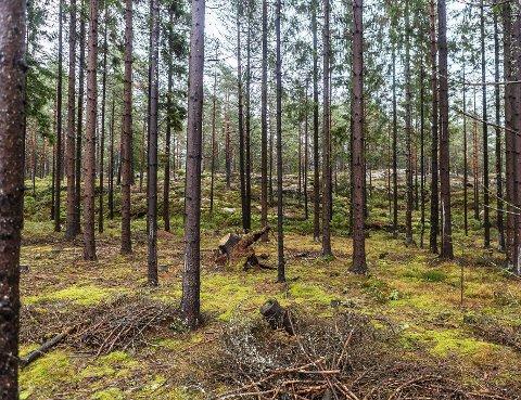 TILSIKTET: Skogsforvaltningen i Fredrikstad kommune har bevisst lagt opp til at dette granarealet skal bli seende akkurat slik ut.