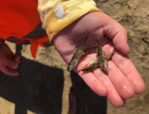 Disse fiskene fant ungene i Nesjane barnehage i vannkanten til Øygardsvatnet
