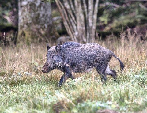 IKKE ØNSKET: Villsvin strømmer inn i Norge og skaper problemer.