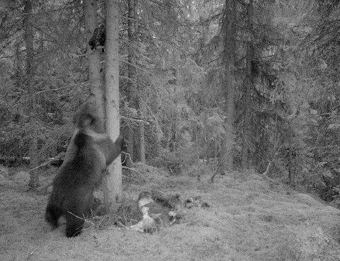 13. mai ble denne ruggen fanget opp på viltkamera i nærheten av Furuseter i Venabygda. En ungbjørn, mener SNO