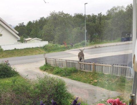 HOPPET OVER GJERDET: Mari-Ann Refsaas rakk å forevige elgene i juli, da de forsvant i retning Telegrafbukta. Senere på sommeren trakk de lenger nord på øya. Foto: Mari-Ann Refsaas