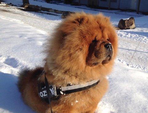 POPULÆR HUND: Hunden Ozzy har 26.500 følgere på Instagram. I helgen var det noen som stjal kontoen.