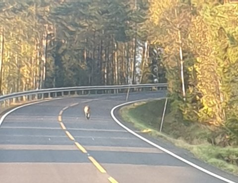 Her løper en av ulvene foran bilen til Hemnes-kvinnen lørdag kveld. Foto: Privat