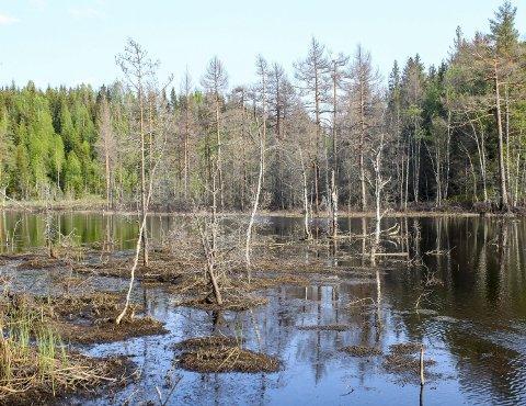 Naturen forandrer seg selv. Sist jeg besøkte dette området mellom Nannestad og Nittedal rant det en stille elv her. Nå har beveren inntatt Øyangselva og laget sin egen lille innsjø. Foto: Rune Fjellvang