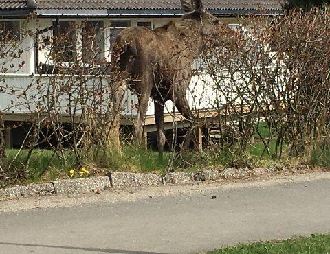 Et dyr av arten «Alces alces» var torsdag på ferde i Damveien på Hannestad.