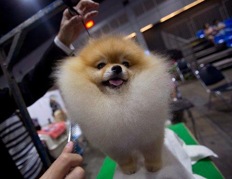 POPULÆR I SARPSBORG: Pomeranian var den mest populære rasen blant nye hundeeiere i Sarpsborg i fjor.