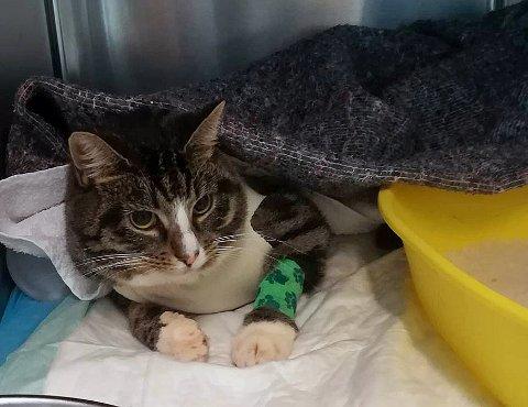 ETTER FORHOLDENE BRA: Katten noe neddopet etter inngrepet som fjernet kula i ryggen.