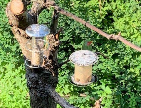 KOSER SEG: Fuglen virker som den har det bra sammen med spurvene i treet i hagen, selv om den ikke får nebbet inn i fuglemateren, forteller tipseren mandag morgen.