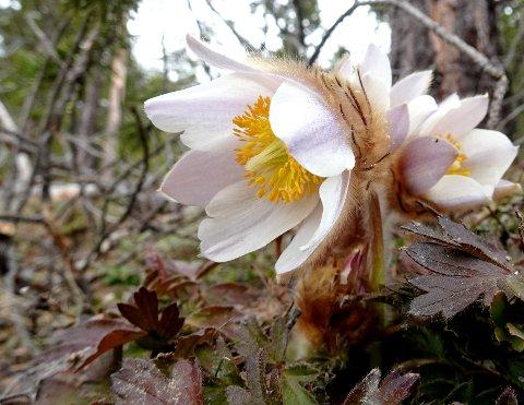 MAI-KULDE: Vinter i fjellet fortsatt der den første mai-blomsten, mogopen, er kommet. Natt til mandag var det 12,7 minusgrader på Juvflye i Lom.