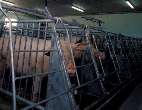Bildet viser griser som er fiksert. Det vil si at bevegelsesmuligheten er avgrenset slik at de ikke kan snu seg eller utføre normal kroppslig atferd. Fiksering er kun tillatt i visse situasjoner, for eksempel under fôring fram til maten er spist opp.(Bildet er tatt i en annen forbindelse, og har ingen sammenheng med produsenten som er omtalt i denne saken.)