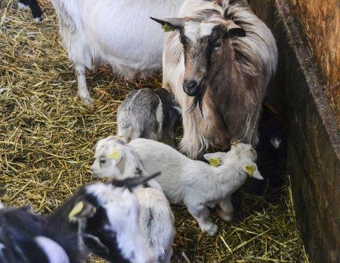 Ledig jur: Kjeene på Saupstad gård går fritt i og utenfor geitefjøset. Ca. 100 kje er født i fjøset allerede, og like mange kommer snart.