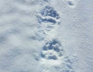 BAMSE PÅ TUR: Reingjeter Terje Gundersen ble overrasket da disse sporene dukket opp, bare noen dager etter at det sist ble sett bjørn i Reisadalen.
