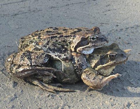 FROSKESEX: Frosk eller padde? Disse to er vanskelige å bestemme ut fra be            skrivelsene. Hannen er uansett minst og ligger øverst.