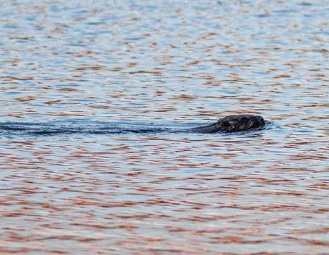 Denne beveren ble fotografert i Østensjøvannet 10. mai