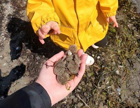 FUNN: Selma (snart 3) og familien fant tusenvis av slike langs stranda. Mange hadde tips om hva det kunne være.