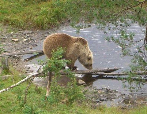 Flere tilfeller: I fylket er det registrert flere tilfeller av bjørn enn på flere år. Her ser vi en av de lvende tilfellene av bjørn, som ble observert i Namsskogan familiepark. (Foto: Tore Veisetaune / Fylkesmannen i Nordland)