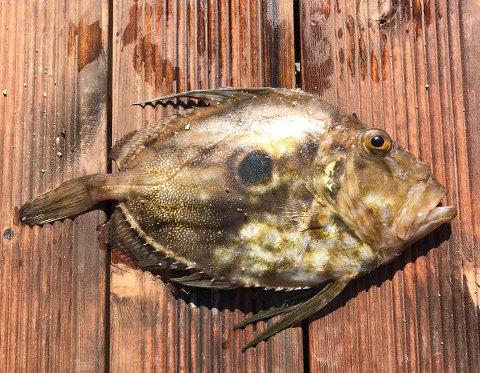 Middelhavsfisfisken St. Petersfisk dukket opp i et garn utenfor Kvitsøy.