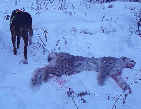 GAUPEJAKT: Ei hanngaupe ble felt i Drevja denne uka, og kanskje er det samme dyr som har gjort skade på beitedyr i området.