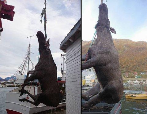 FANGST: Oldervik Fiskeindustri måtte ta i bruk utradisjonelle metoder for å få elgen i land. Foto: Privat