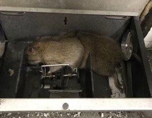 I FELLA: Nokas skadedyrkontroll fanger fremdeles rotter - men i Tromsø sentrum er det fortsatt forholdsvis fredelig, etter at rottene trakk bort da maten fra serveringsstedene uteble.