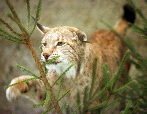 På sitt møte 26. oktober kommer Rovviltnemnda i Midt-Norge trolig til å vedta en fellingskvote på 27 dyr