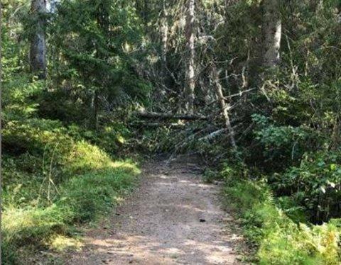 HAR VELTET: Drammen kommune advarer mot veltede trær i Finnemarka, som følge av den kraftige vinden onsdag.