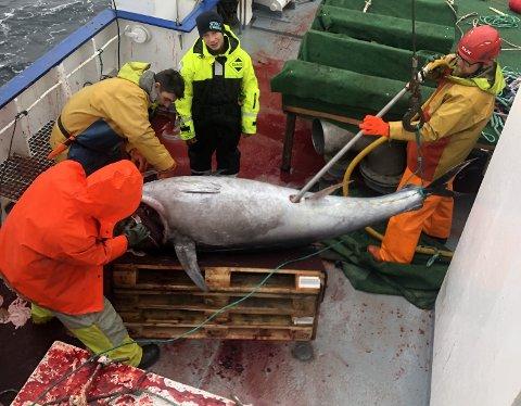 Skipper Olaf Iversen anslår at de største makrellstørjene de fisket veide over 350 kilo.