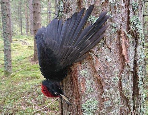TRIST SYN: Dette synet av død svartspett møtte Paul Gulstrand da han var ute på tur i Østmarka 25. august. Han tok fuglen ned og begravde den.