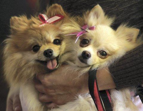 Det er hovedsakelig hunder av rasen Yorkshireterrier kvinnen har solgt via Finn.  Hundene på bildet har ingenting med saken å gjøre.