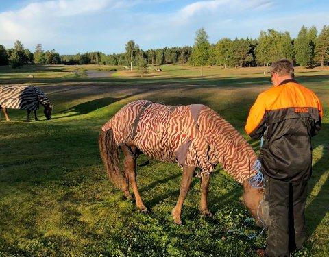 På tur alene: Disse to hestene fant selv veien til Fredrikstad golfbane i Onsøy lørdag morgen ved 6.30-tiden.