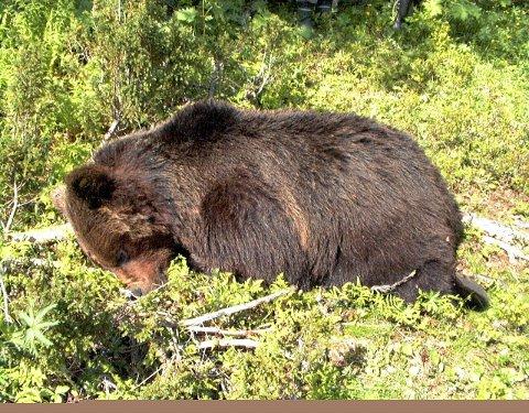 Vefsn er en av kommunene på Helgeland hvor det kan felles bjørn under årets lisensjakt.  Illustrasjonsfoto: ANB