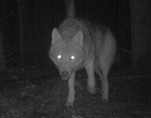 FØRSTE PÅ TI ÅR: Det er ti år siden sist en ulv etablerte seg i Mossereviret som ligger mellom Moss og Askim, ifølge Rovdata.no. (Foto: Foto © http://viltkamera.nina.no/ )