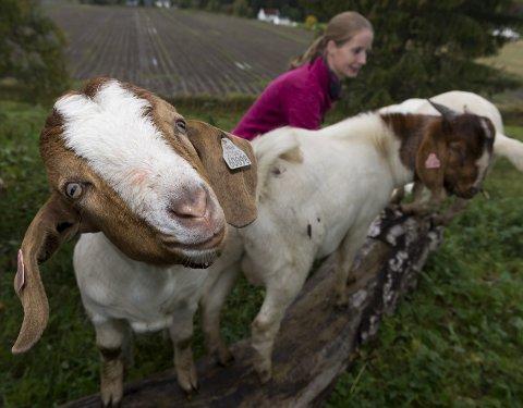 TRIVSEL: Kjøtt fra geitekje blir stadig mer populært hos nordmenn. Trivsel og god dyrevelferd er viktig, mener produsentene på gården Ulsrudbakken. Foto: Henning Gulbrandsen