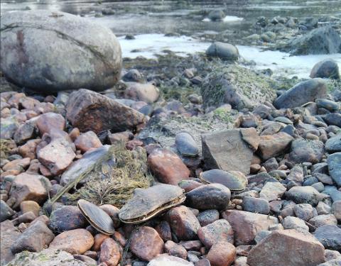 TØRRLAGT: Vannstanden i Lågen ble for lav for disse elvemuslingene.