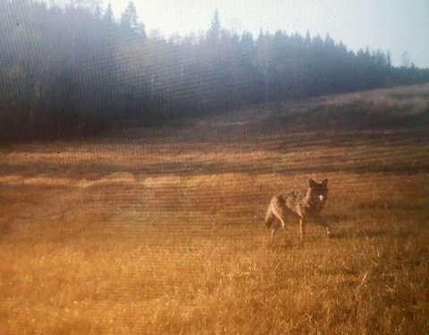 ULV I BUDALEN: Denne ulven ble fanget opp på et viltkamera i Budalen.