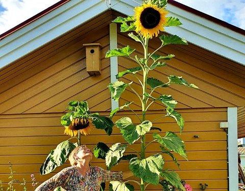 Hilde Angermo fra Åga er 174 cm på strømpelesten, men har ikke sjans om å nå opp til solsikken hun sådde i vår.