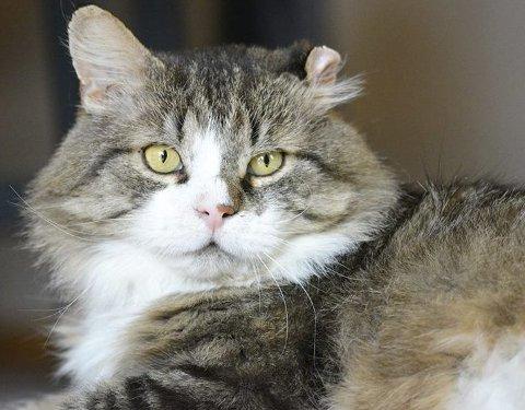 Katten Rune vil nok aller helst til et rolig hjem med voksne mennesker.