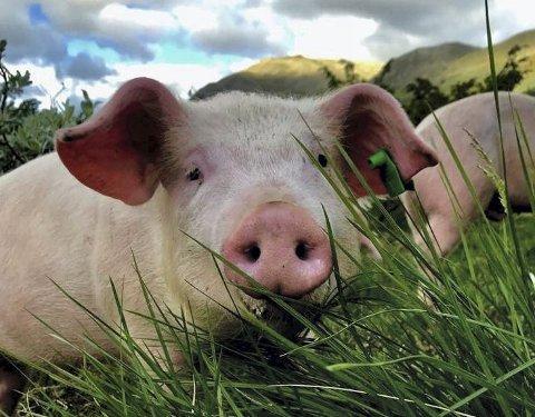 Glade dyr: Grisen til Raymond Holien Eltun ser ut til å ha glade dager på beite i Skakadalen.
