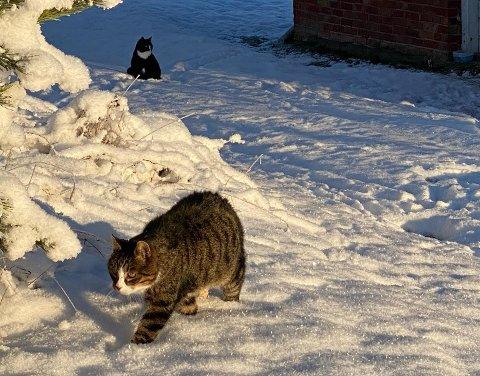 HOLDER VAKT: Franz von Værket patruljerer territoriet sitt på Sander. Bak ham sitter Sossen von Stahlsberg. Line Sandøy har gitt kattene sine personlige navn. – Det er en måte å menneskeliggjøre dem på, sier hun. Akkurat det samme viser Agria Dyreforsikrings navnestatistikk 2020 for katt, hund og hest.