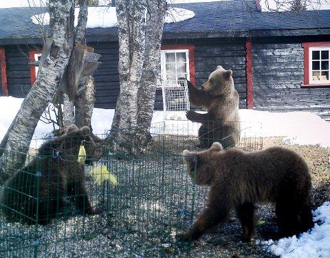 SULTNE: De tre bjørnene forsynte seg velvillig av fuglematen utenfor hytta.
