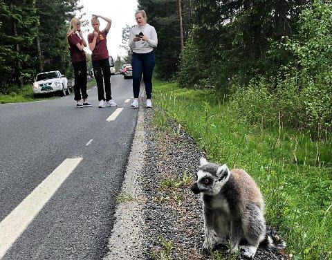 Den siste lemuren ble funnet fort kort tid siden. I bakgrunnen står Emma FLaten Rugnes, Henriette Lauve og en tredje person som vi foreløpig ikke har navnet på.
