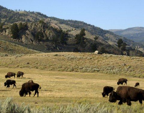 : Igjen gresser amerikansk bison på slettene i Yellowstone nasjonalpark. Fra en bestand på 60 millioner dyr i 1800, var det bare noen få igjen hundre år senere. Foto: NTB/Scanpix